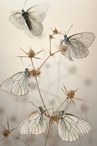 iPhone-White-Butterflies-background-iPhone-Wallpaper
