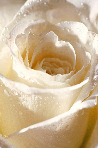 iPhone-White-Rose-background-iPhone-Wallpaper