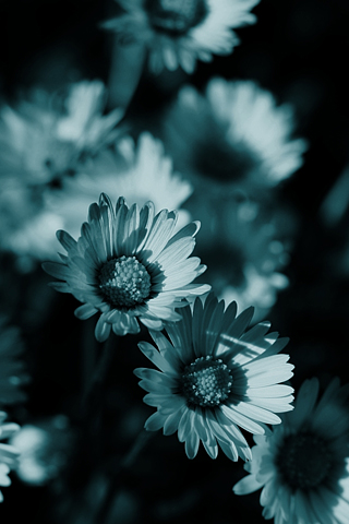 Daisies-Filtered