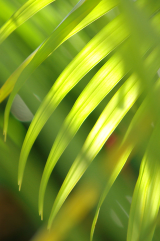 Palm-Tree-Leaves