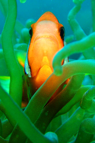 iPhone-Clown-Fish-background-iPhone-Wallpaper