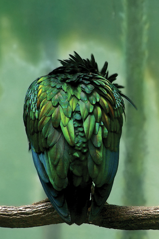 iPhone-Greeny-Bird-background-iPhone-Wallpaper
