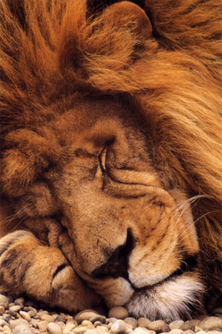 iPhone-Sleeping-Lion-background-iPhone-Wallpaper