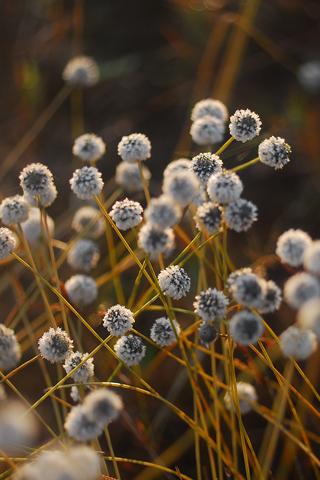 Ball-Flowers
