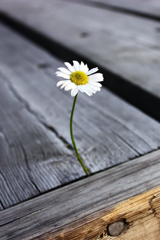 Patio-Daisy