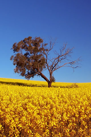 Canola-Field-by-Ben-Goode