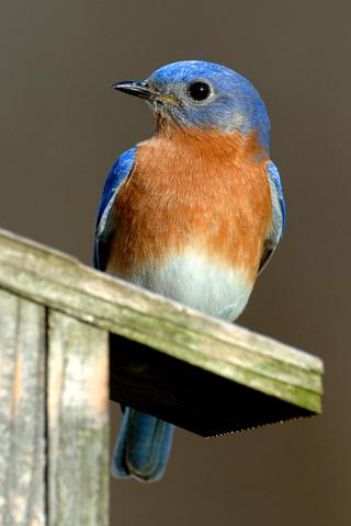 3D-Blue-Bird-iPhone-Wallpaper