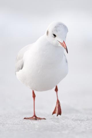 3D-Seagul-Closeup