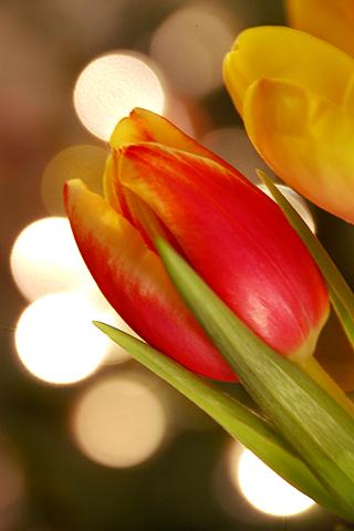 3D-Tulips
